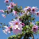 Giant Tree Dahlia Pink Bell Dahlia Imperialis Rare - 5 Seeds
