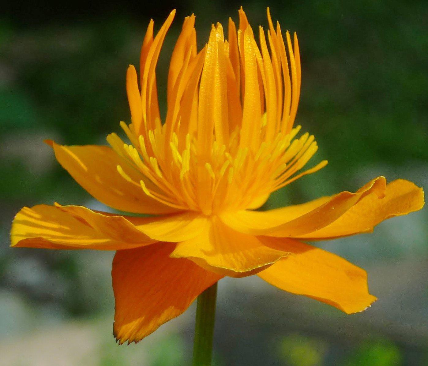 Chinese Globeflower Troll Flower Trollius chinensis 'Golden Queen' Rare - 25 Seeds
