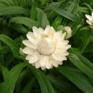 White Strawflower Paper Daisy Xeranthemum bracteatum - 50 Seeds