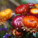 Heirloom Everlasting Strawflower Mix Helichrysum bracteatum - 150 Seeds
