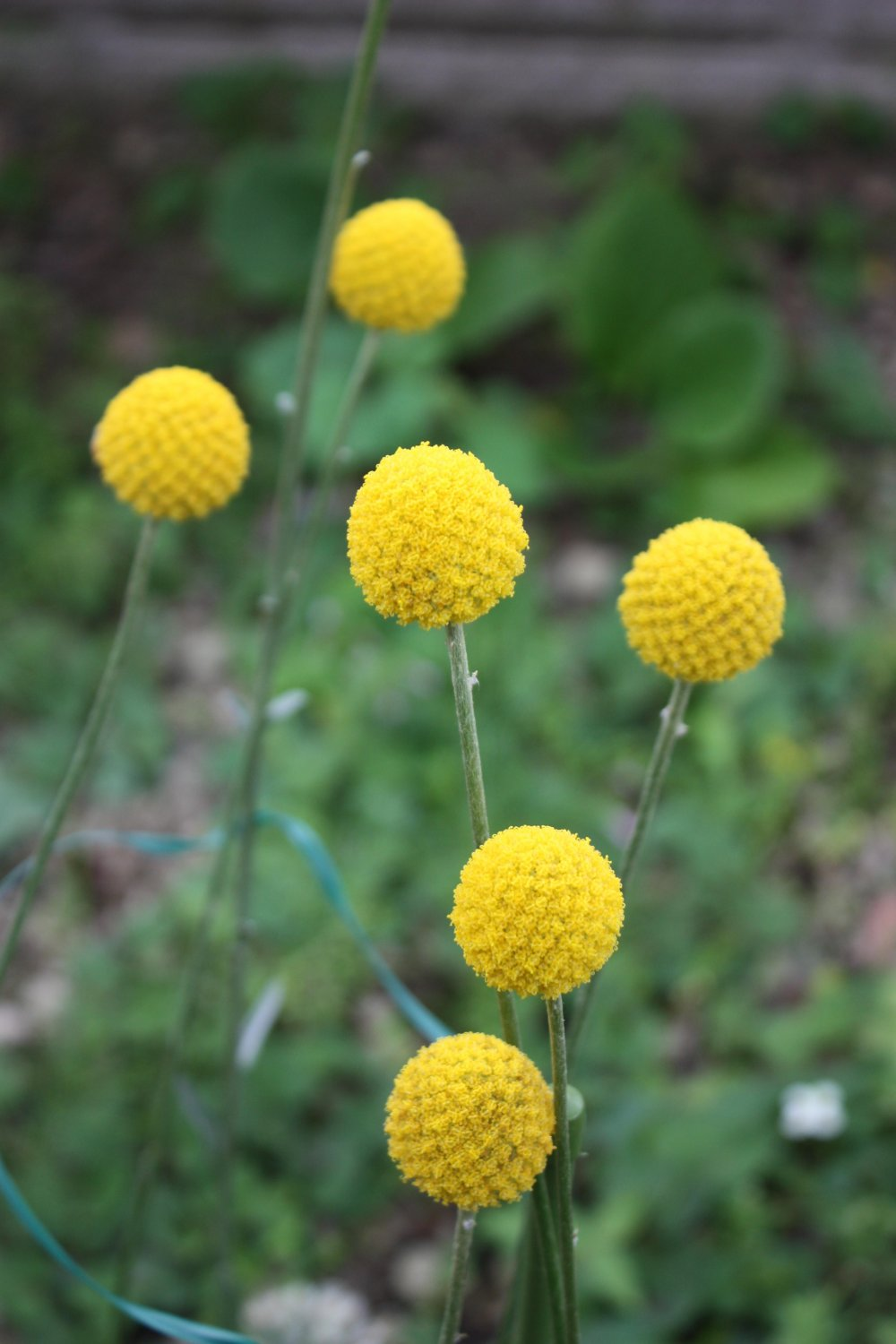 Green Family Stores >> Golden Drumstick Billy Balls Craspedia Globosa - 25 Seeds