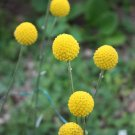 Golden Drumstick Billy Balls Craspedia Globosa - 25 Seeds