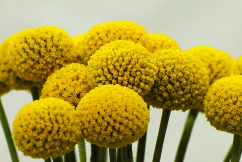 Golden Drumstick Billy Balls Craspedia Globosa 25 Seeds