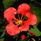Rare African Plume Red Orchid Bush Bauhinia galpinii - 5 Seeds