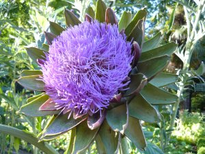 Purple Artichoke Flowers Cynara scolymus - 30 Seeds