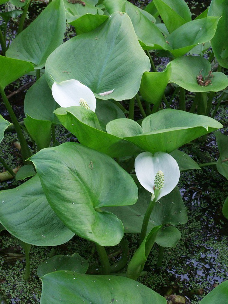 White Water Calla Lily Calla palustris - 30 Seeds