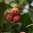 Lollipop Marble Vine Diplocyclos palmatus Rare - 15 Seeds