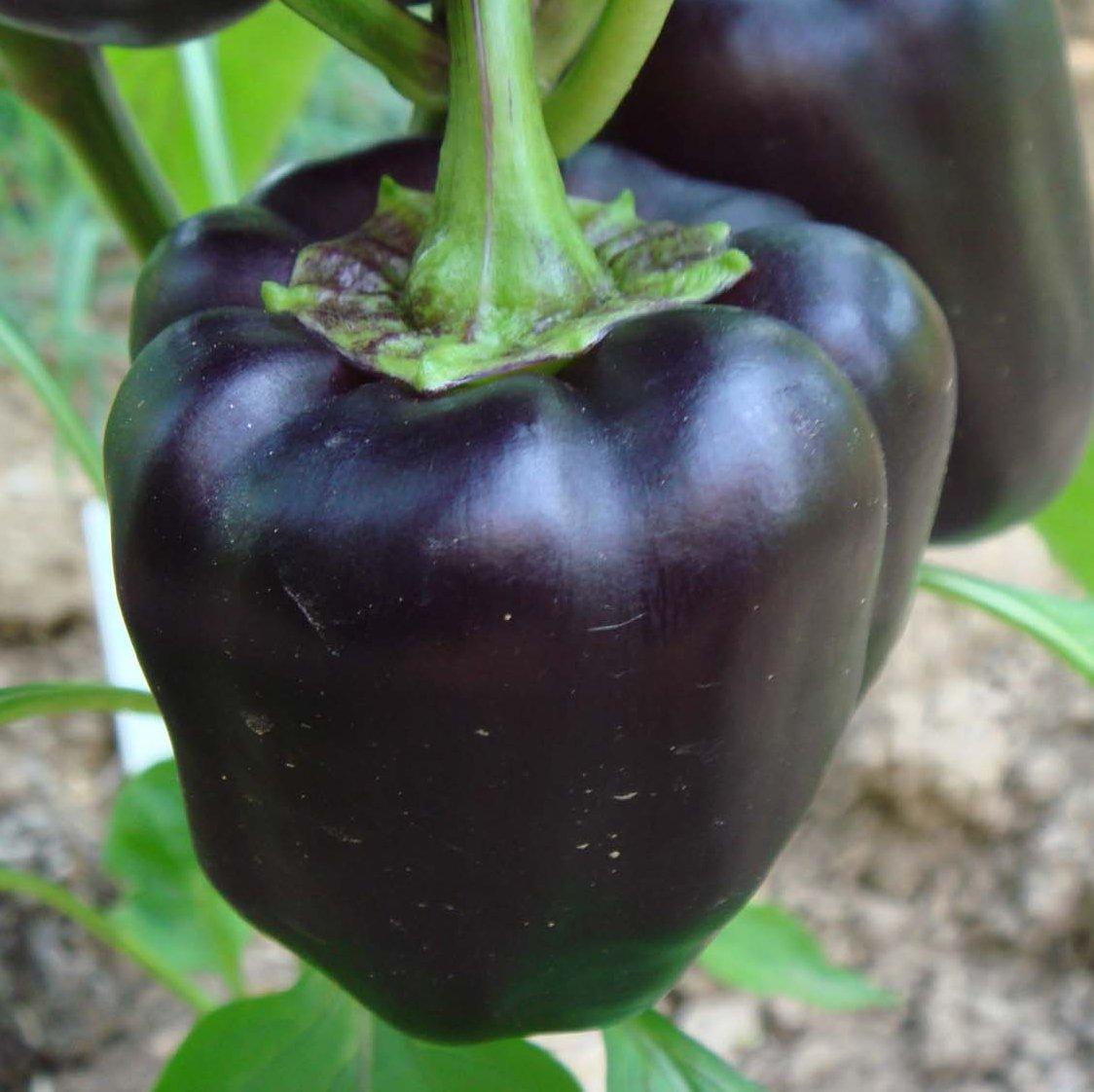 Organic Beauty Products >> Black Heirloom Sweet Bell Pepper 'Purple Beauty' Capsicum annuum - 25 Seeds