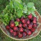 Tropical Roselle Wild Hibiscus sabdariffa (Hibiscus Tea) - 10 Seeds