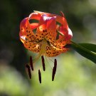 Beautiful Native Turks Cap Lily Lilium Superbum - 40 Seeds