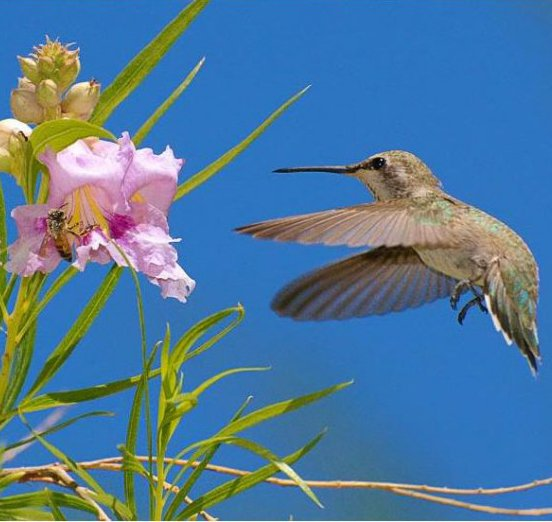 Flowering Desert Willow Chilopsis linearis - 20 Seeds