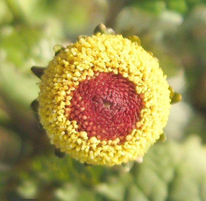 Peek a Boo Eyeball Plant Spilanthes oleracea - 50 Seeds