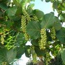 Tropical Sea Grape Edible Coccoloba uvifera - 10 Seeds