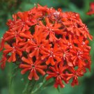 Sale! Scarlet Flower of Bristol Red Lychnis Chalcedonica 2 for 1- 100 Seeds