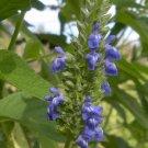 Organic Chia Plant Salvia hispanica - 2 Gram Seeds