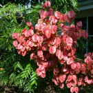 Spectacular Chinese Rain Tree Koelreuteria bipinnata - 10 Seeds