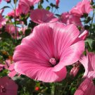 Tree Mallow Pink and White Lavatera Trimestris - 100 Seeds
