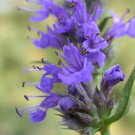 Hyssop Herb Hyssopus officinalis - 100 Seeds