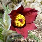 Red Pasque Flower Anemone Pulsatilla vulgaris - 20 Seeds