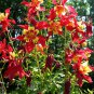 Western Crimson Red Columbine Aquilegia formosa - 30 Seeds
