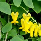 Golden Tears Vine Dicentra scandens - 15 Seed