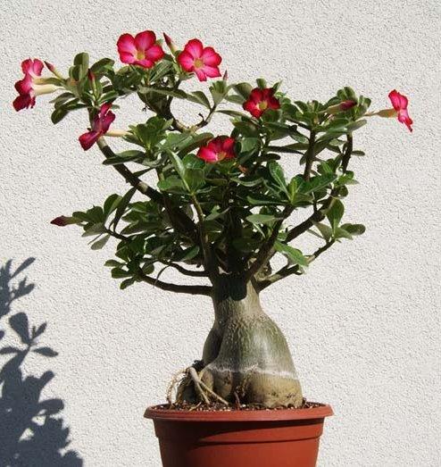 Desert Rose Bonsai Mixed Colors Adenium Obesum - 12 Seeds