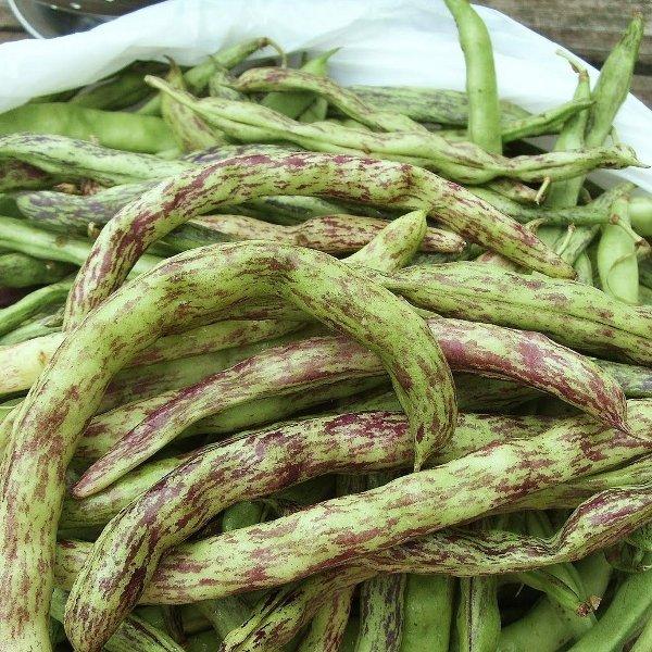 Organic Heirloom Rattlesnake Snap Bean Phaseolus vulgaris - 80 Seeds