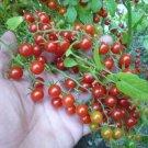 Rare Organic Heirloom Wild Tomato Solanum pimpinellifolium – 25 Seeds