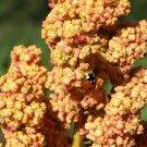 Organic Heirloom Grain Quinoa Chenopodium Quinoa - 5 Gram Seeds