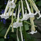 Scented White Trumpets 'Only the Lonely' Nicotiana sylvestris - 200 Seeds