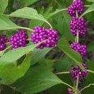 Magenta American Beautyberry Callicarpa americana - 20 Seeds