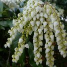 White Japanese Andromeda Pieris japonica -  20 Seeds