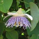 Rare Sea Anemone Passion Flower Passiflora Actinia - 10 Seeds
