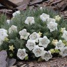 Rare Ice Cup Flower Caiophora coronata - 30 Seeds