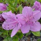 Korean Azalea Rhododendron Yedoense - 10 Seeds