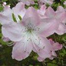 Royal Azalea Rhododendron schlippenbachii - 10 Seeds