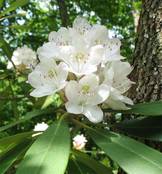 Rosebay Azalea Rhododendron Maximum 10 Seeds