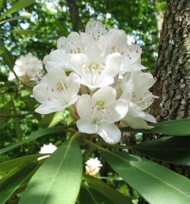 Rosebay Azalea Rhododendron Maximum - 10 Seeds