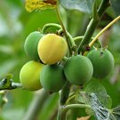 Barbados Nut Physic Nut Jatropha Curcas - 8 Seeds