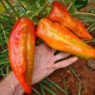 Giant 'Aconcagua' Sweet Pepper Chili Capsicum annuum - 20 Seeds
