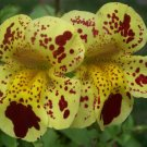 Tiger Monkey Flower Mimulus tigrinus - 150 Seeds