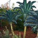Rare Heirloom Vegetable Black Tuscan Palm Kale Lacinato Brassica oleracea - 50 Seeds