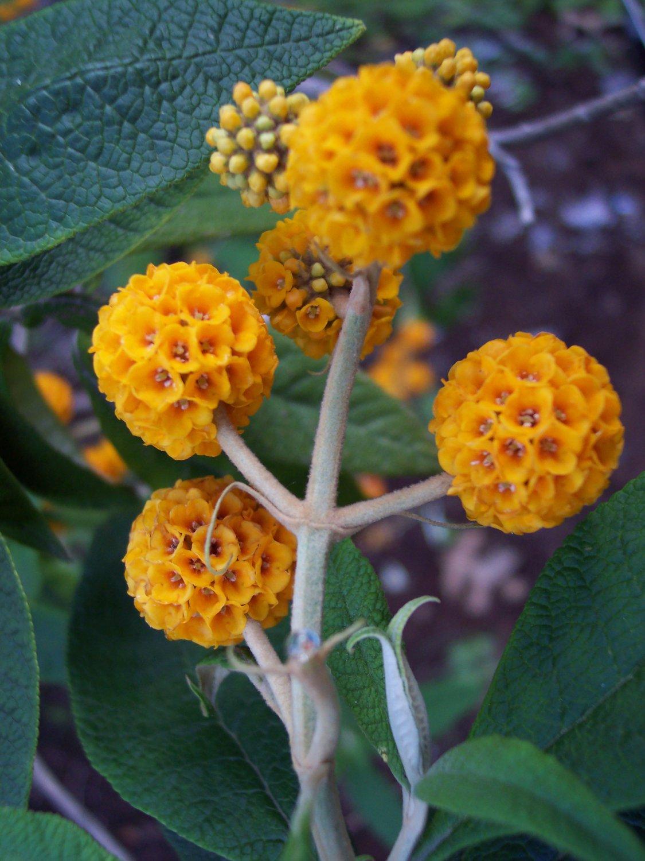 Rare Buddleia Orange Balls Buddleja Globosa 25 Seeds