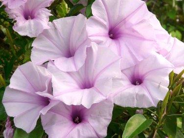 Rare Pink Morning Glory Bush (not vine) Ipomoea carnea - 5 Seeds