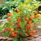 Sale! Ornamental Chinese Lantern Physalis alkekengi Franchetii 2 for 1 - 75 Seeds