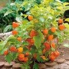 Sale! Ornamental Chinese Lantern Physalis alkekengi Franchetii 2 for 1 - 75 Seeds