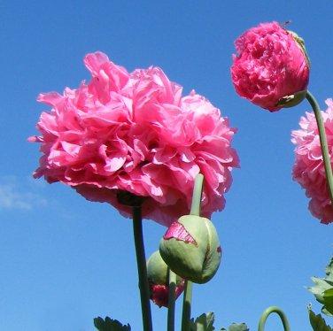 Pink Carnation Rose Poppy Papaver paeoniflorum - 100 Seeds