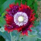 Rare Drama Queen Poppy Papaver hybridum Laciniatum - 30 Seeds