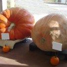 Giant Competition Pumpkin Cucurbita maxima - 5 Seeds