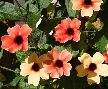 Black-Eyed Susan Vine 'African Sunset' Thunbergia alata - 10 Seeds